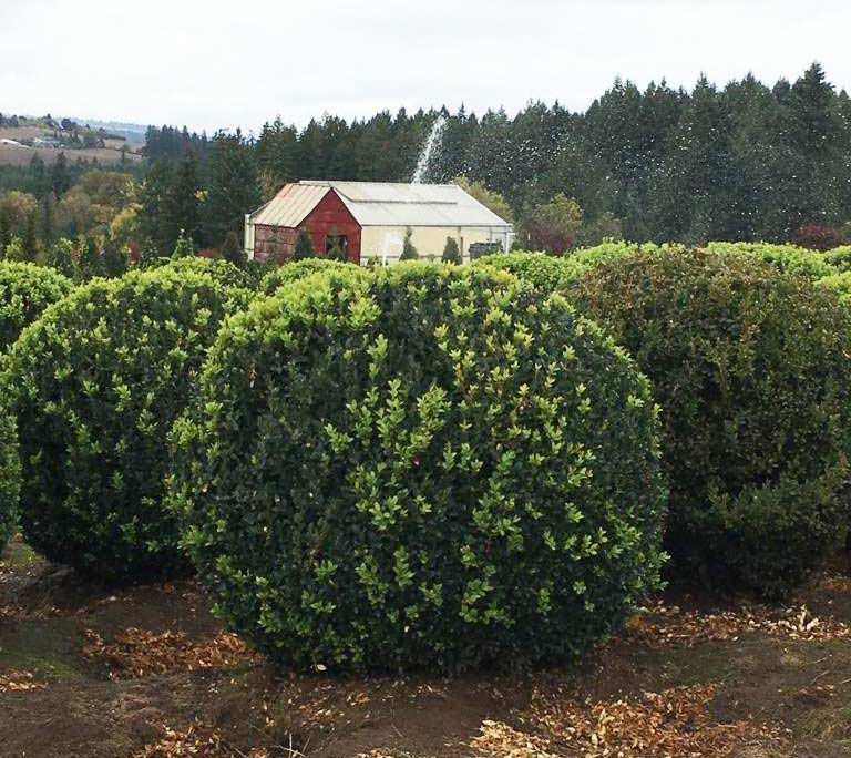 Live Topiary Part - 41: 36 Inch Live Boxwood Topiary With Full And Tight Leaves