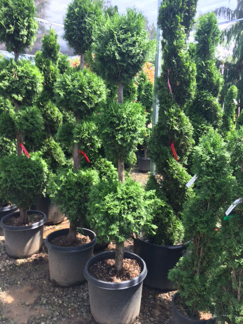 60 - 72 inch triple ball Thuja Topiary ONSALE.