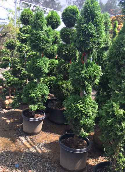 84 inch - 3 balls and Spear Thuja Topiary ONSALE