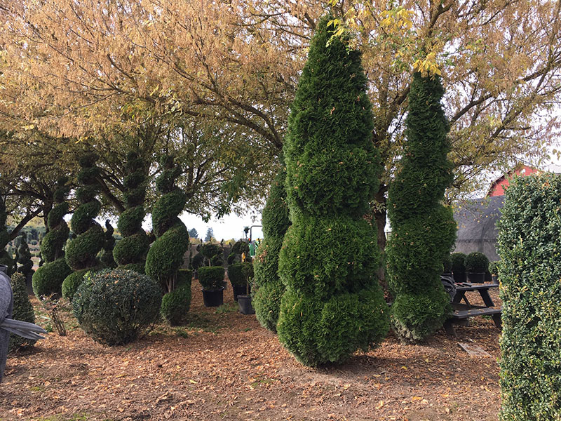 Spiral Balls with Cone Top Live Arborvitae Topiary