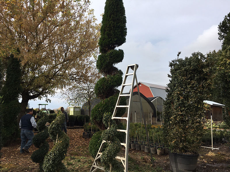 Spiral with Cone Top Live Arborvitae Topiary