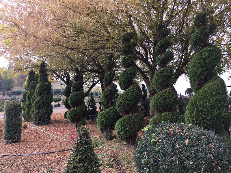 /Spirals Arborvitae - Tall 10 foot to 17 foot Tall