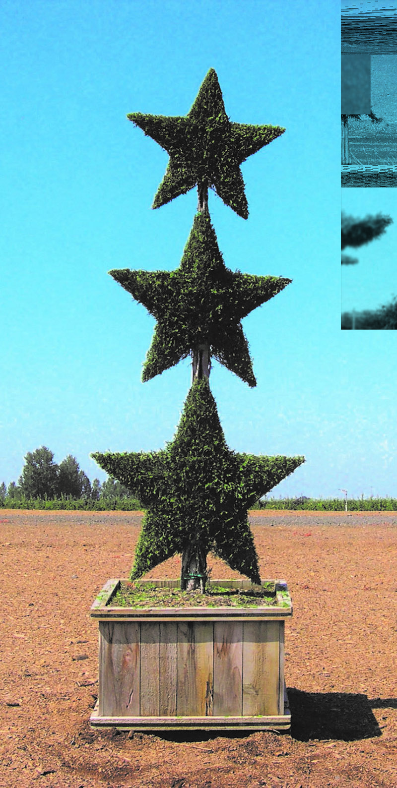 Live Thuja 3 Star Stack Topiary