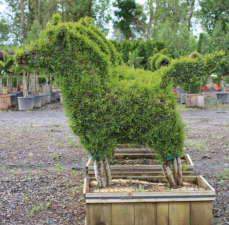 Live Thuja Boxed 4 Horse Topiary