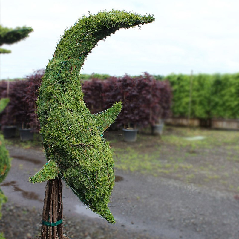 Live Thuja Dolphin Diving Topiary