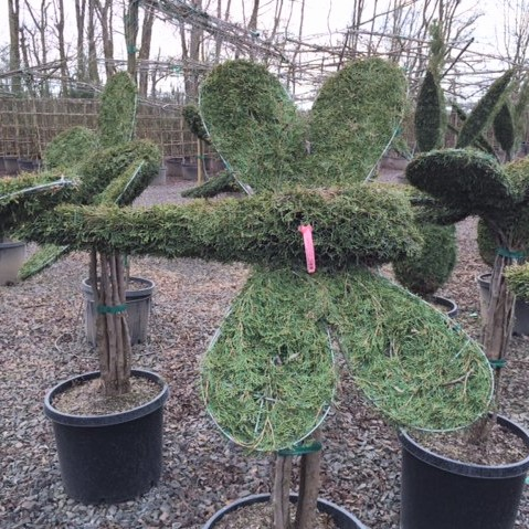 Live Thuja Large Dragonfly Topiary