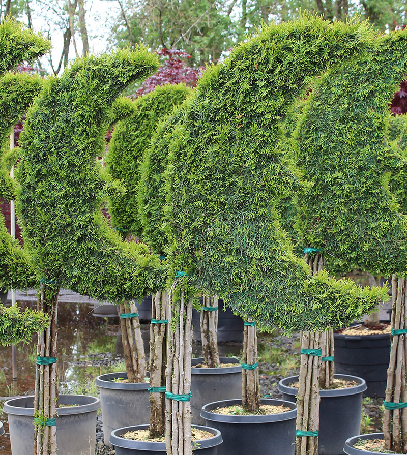 Live Thuja Large Moon Topiary