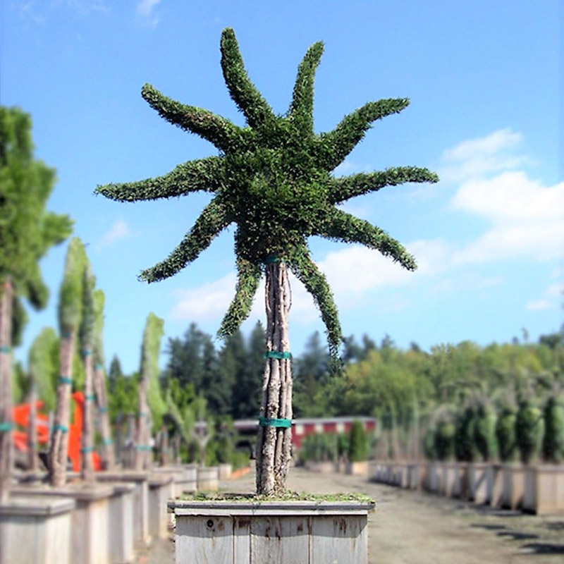 Live Thuja Large Sunflower Topiary