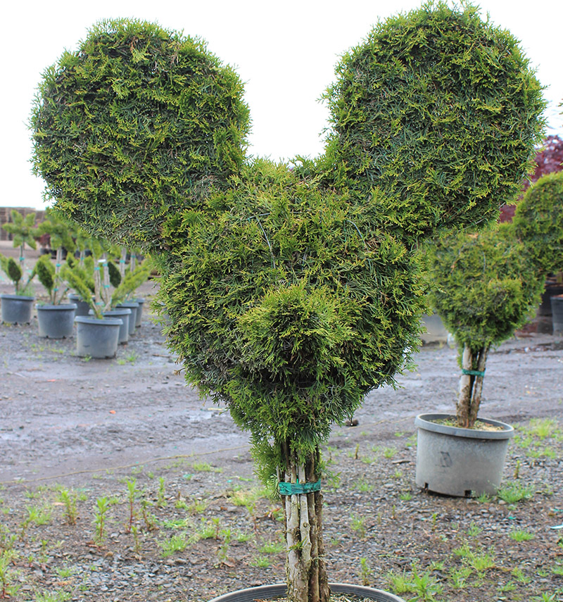 Live Thuja Mouse Head Topiary