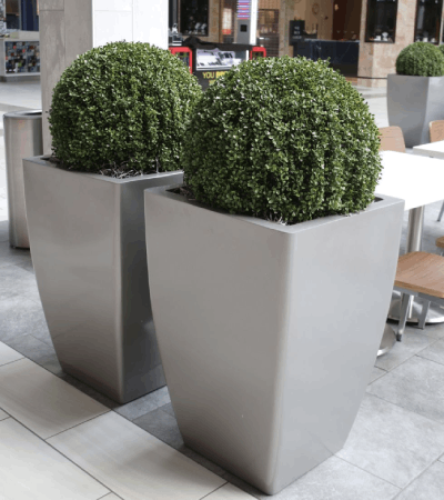 exterior boxwood topiary balls in boxwood foliages