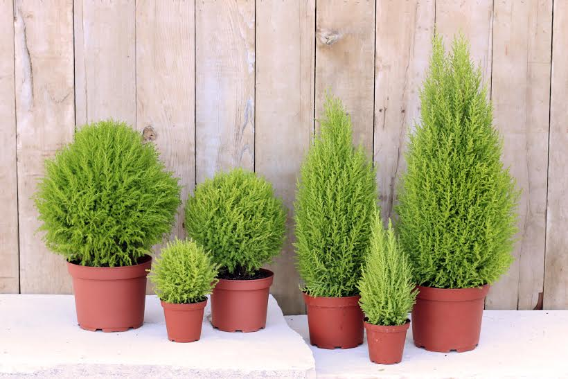 family of live cypress topiaries