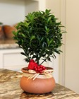 Live Washpot Euonymus Topiary