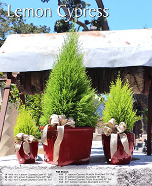live-lemon-cypress-christmas-topiary