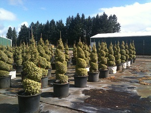 Buxus s and  'Aureo Variegata' Spiral Topiary Tree