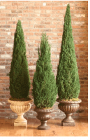 Preseved Cone Topiary 60 inches tall