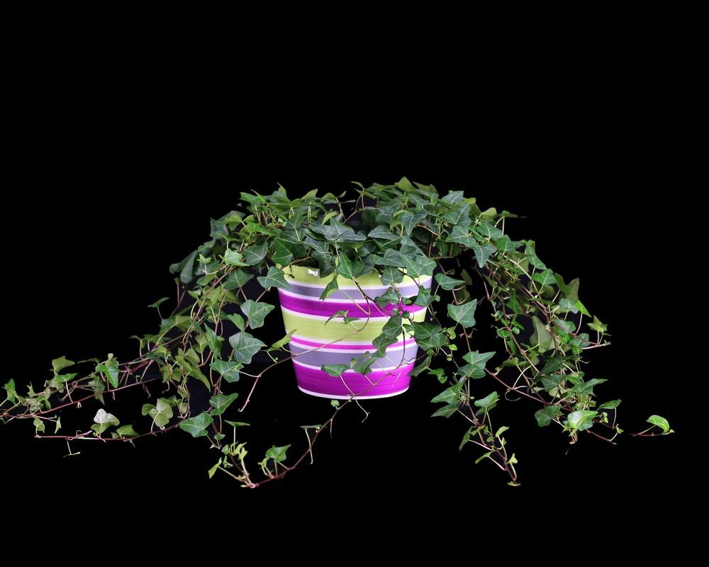 105G, Ivy Live Topiary Plants