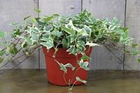 105V, Ivy Live Topiary Plants