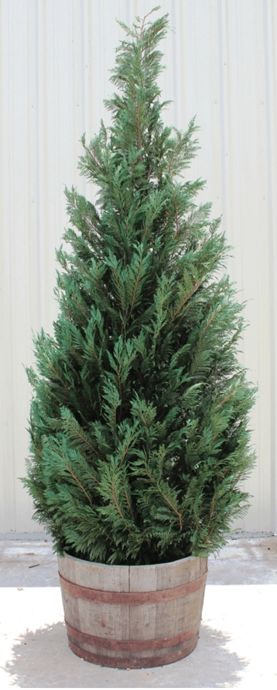 10ft Live Preserved Cypress Tree