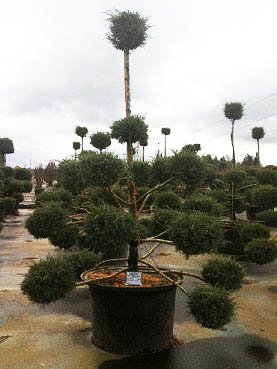 Juniperus ch and  'Hetzi Glauca' Pom Pom