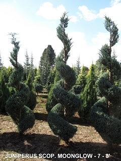 Juniperus Scop and  Moonglow (7 to 8 feet )