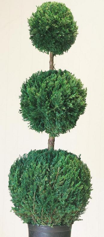 Preserved Triple Ball Topiary 60""