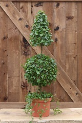 11 and 5 LB Stem Ivy Topiary