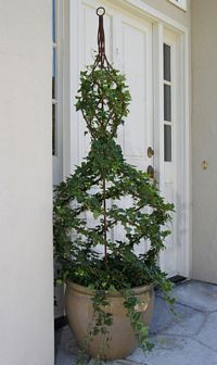 Item 176G  Ivy Live Topiary Trees