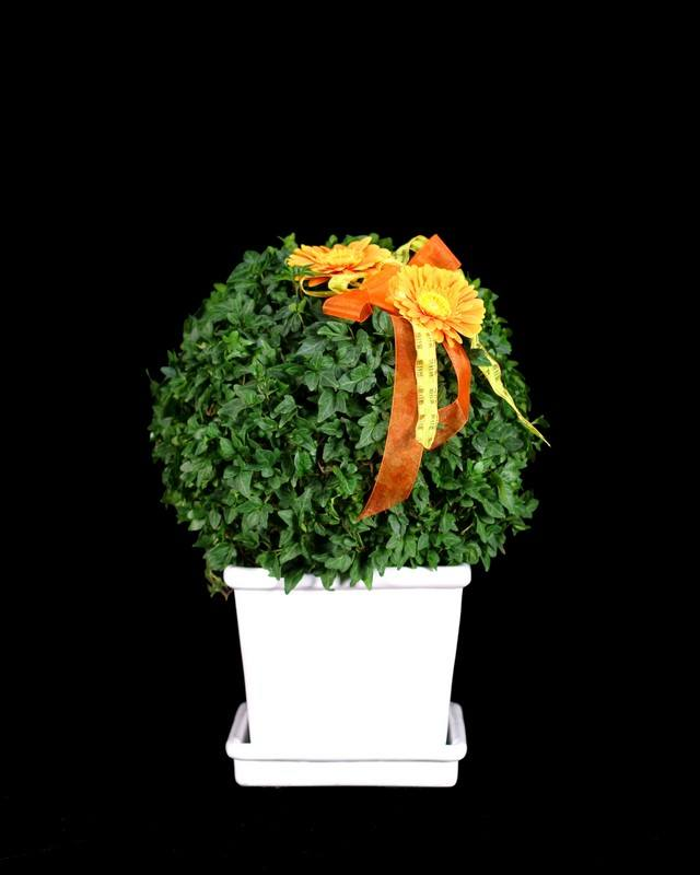 Live Ivy Topiary:185G