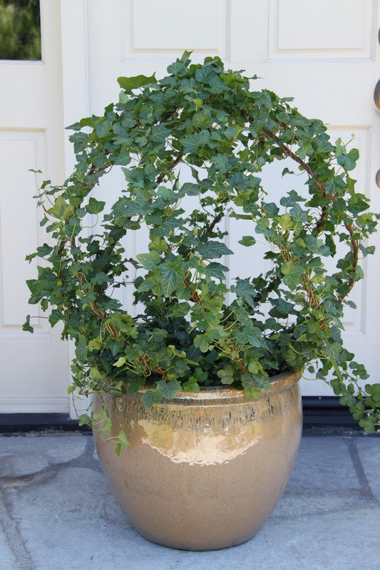 Live Ivy Topiary: 187G