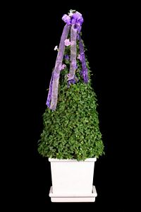 205G, Ivy Live Topiary Plants