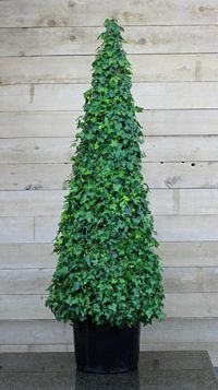 210G, Ivy Live Topiary Trees