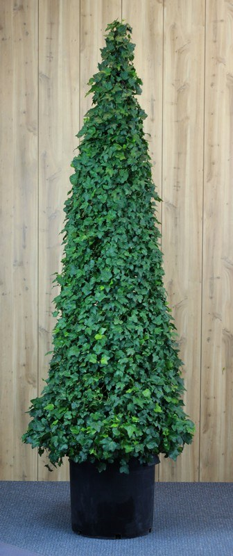 215G, Ivy Live Topiary Trees