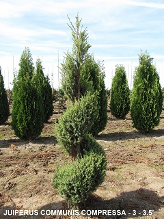 Juniperus Communis Compressa (3 to 3 and 5 feet )