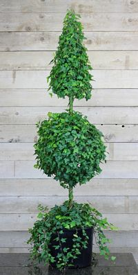 216G, Ivy Live Topiary Trees