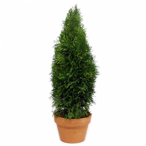 emerald green arborvitae 50 live preserved topiaries. Black Bedroom Furniture Sets. Home Design Ideas