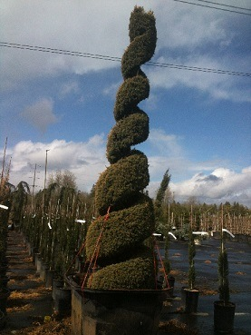 Juniperus com and  'Gold Totem Pole' Spiral