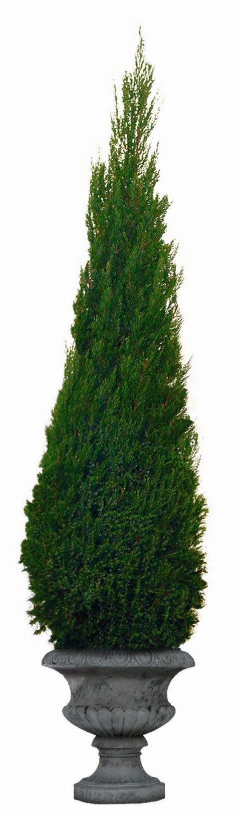 Preserved Cone Topiary 50 inch in Juniper Foliage