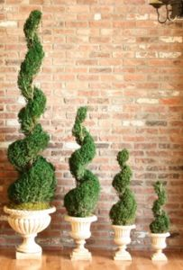 Preserved Classic Spiral Topiary 60 inches tall in Juniper Foliage