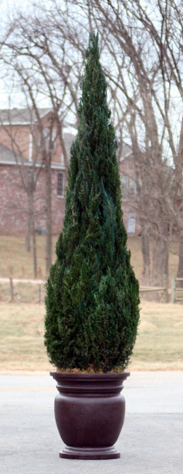 Preserved Cone Topiary 120 inch in Juniper Foliage