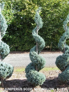 Juniperus Scop and  Moonglow (6 to 7 feet )