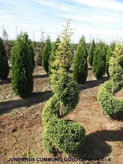 Juniperus Communis Gold Cone (3 and 5 to 4 feet)