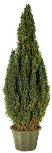 Preserved Natural Topiary 72 inch