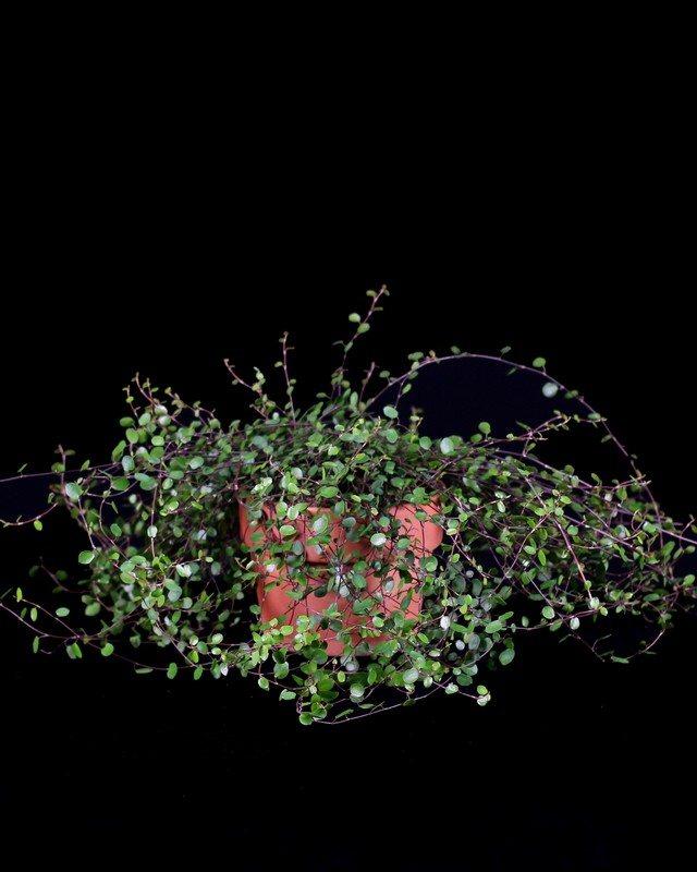 Live Topiary Part - 40: 412, Angel Vine Live Topiary Plants