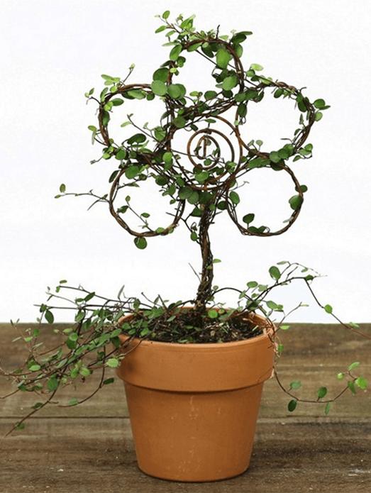 Live Topiary Part - 31: Item 4452 Angel Vine Live Topiary Plants