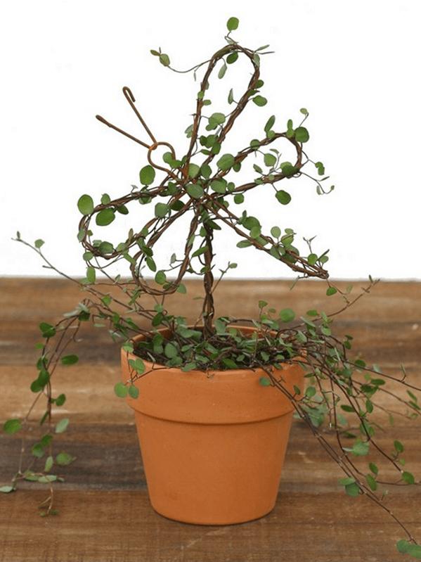 Live Topiary Part - 43: 4454, Angel Vine Live Topiary Plants