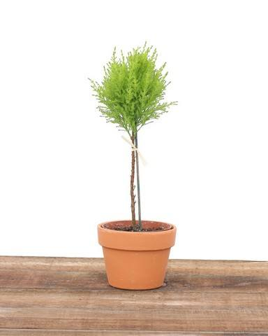 Ball Shaped Live Cypress | TopiaryTree.net | Fresh Live Topiary