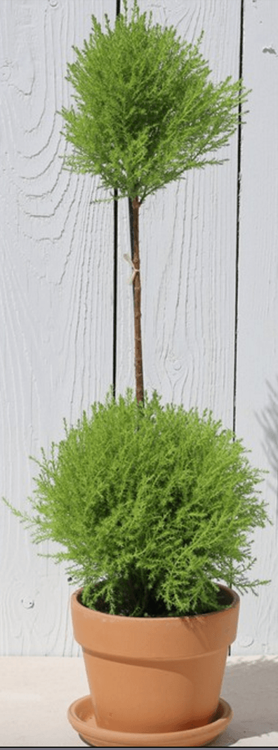 Lemon Cypress Double Standard