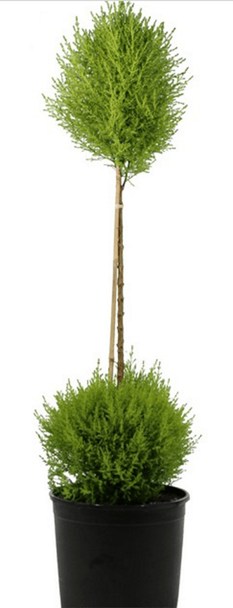 Lemon Cypress Double Ball on Stem