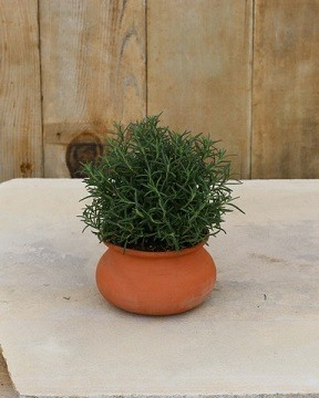 Rosemary Live Topiary Plants