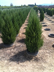 Live Topiary Trees Real Topiary Plants Tall Ball Pom Pon Cone